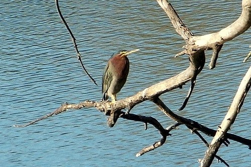 1green heron susan serventi concord | by Contra Costa Times