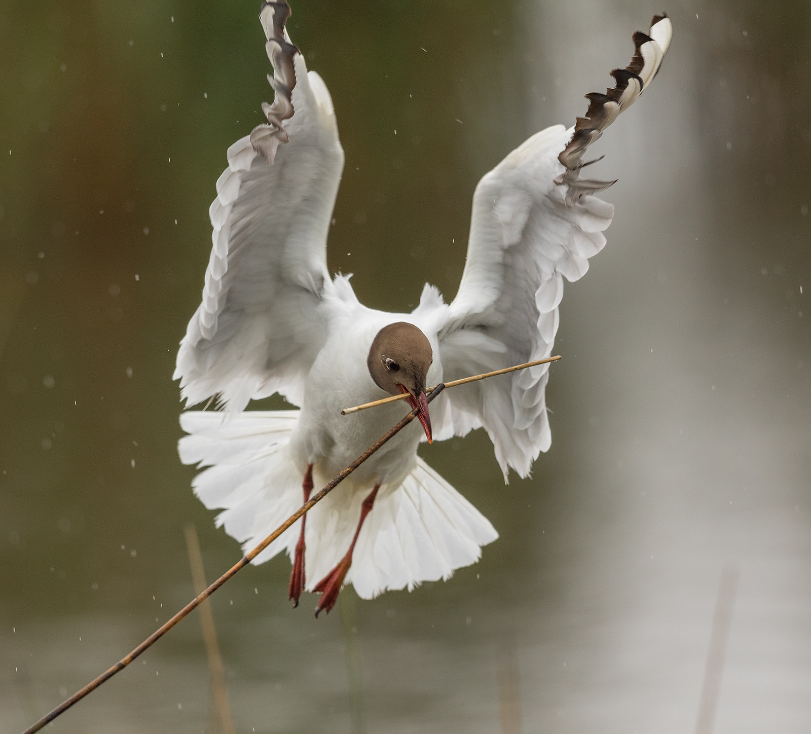 Black headed Gull with nesting material