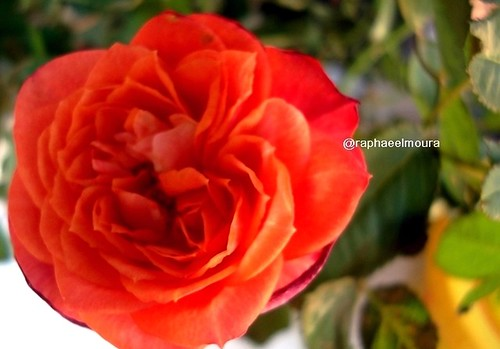 Rosa =) | by Raphael.Moura