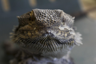 'Drago' the bearded dragon | by ABC Open Outback SA