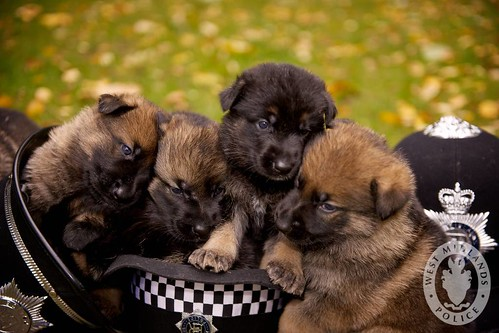 Day 34 - West Midlands Police dog puppies