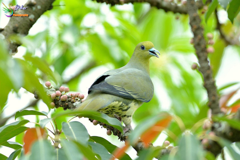 Japanese_Green_Pigeon_8541