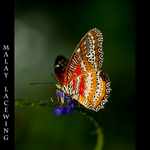 malay lacewing | by Merilee Phillips
