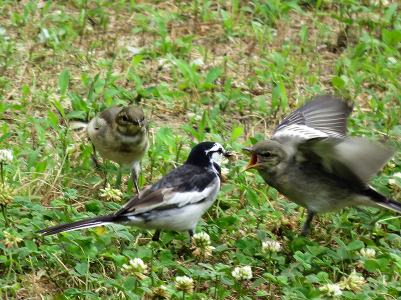 Wagtail's family