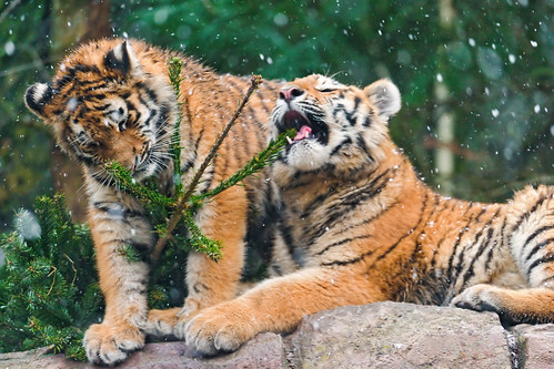 Cubs with the fir | by Tambako the Jaguar