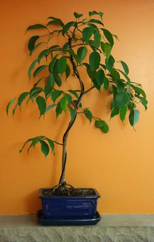 Weeping Fig Bonsai