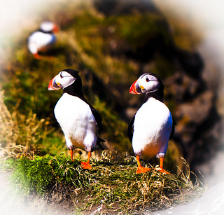 Puffin-- Journey to Iceland 2011-- Hei ! did you sea that bird ? ( Explore) | by bjossi1. Have a nice day my friends :-)