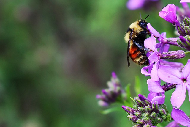 Bumblebee - bombus ternarius