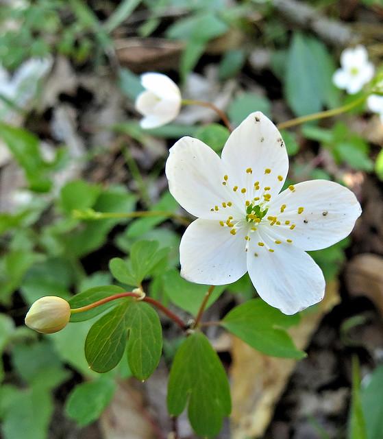 Indiana Native Plants: Indiana Native Plants