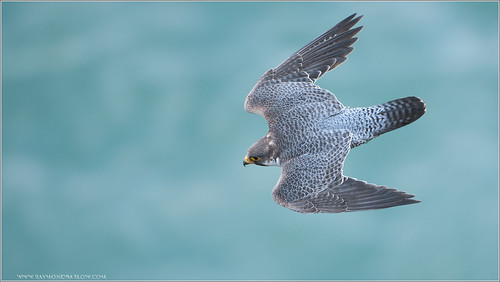 Peregrine in a Dive | by Raymond J Barlow