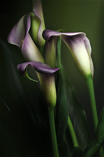 Calla Lily | by 29dreamcatcher29