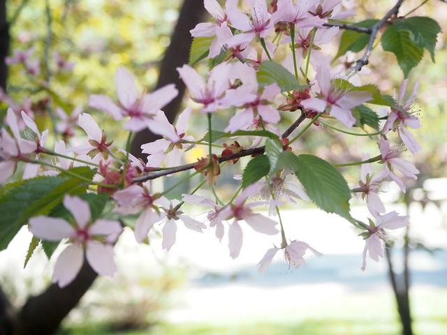 cherryblossomP5124898,japanesestylegardenP5124841,cherryblossomP5124847, cherry blossom, kirsikkapuu, kirsikan kukka, helsinki, roihuvuori, finland, suomi, hanami, helsinki tips, cherry park, japanese style garden, cherry tree park, cherry park, cherry trees, kirsikankukka puu, blooming, kukkia, vaaleanpunainen, pinkki, kukka, flower, cherry blossom helsinki, blue sky, sininen taivas, may, toukokuu, kesä, summer, kevät, spring, suomi, cherry woods, kirisikkapuisto, roihuvuori, japanilaistyylinen puutarha, light pink, vaalea pinkki, pastel,