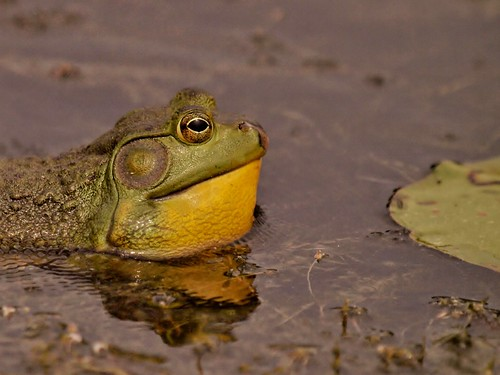 Bullfrog | by Bill Bunn