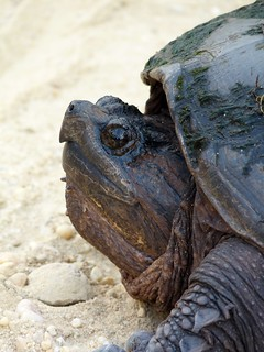Up close with a snapping turtle | by Dendroica cerulea