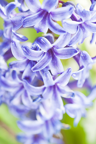 Hyacinth. | by kaybee07