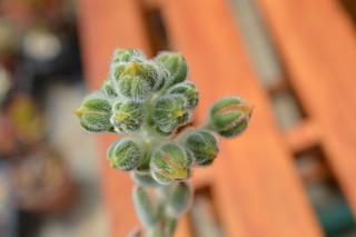 DSC_3233 Echeveria cv. Bombycina  エケベリア ボンビシナ (白閃冠)