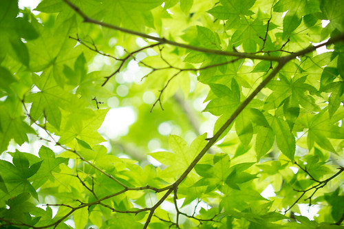 Fresh green maple leaves | by Takashi(aes256)