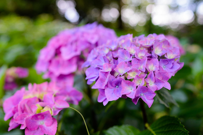 大神山神社 紫陽花 2016.6-5