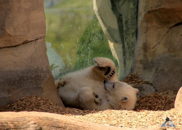 Eisbär Lili im Zoo am Meer 15.05.2016  312
