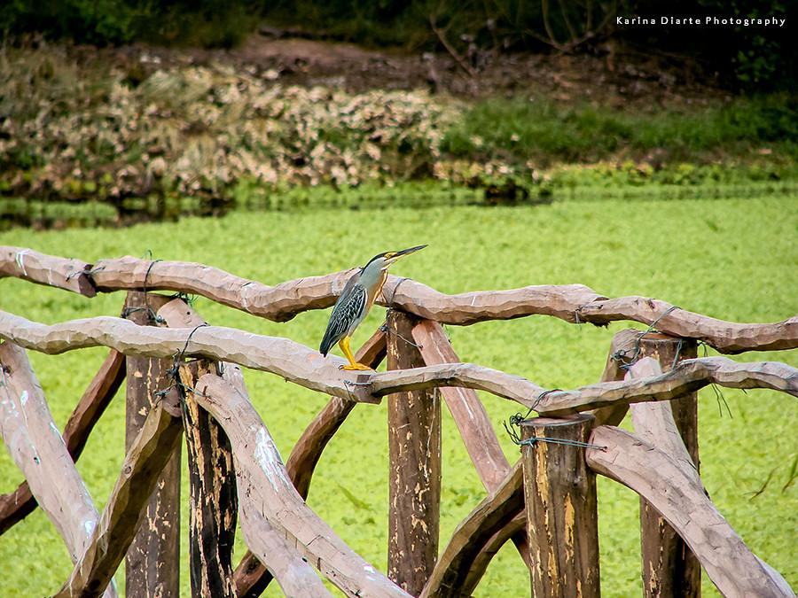 Garza Azulada - Butorides striatus
