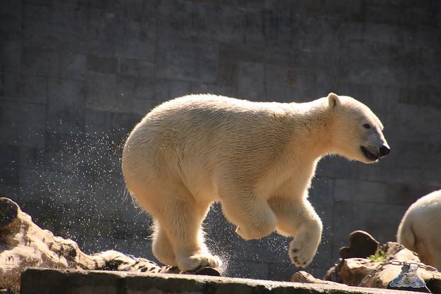 Eisbär Fiete im Zoo Rostock 04.06.2016   08