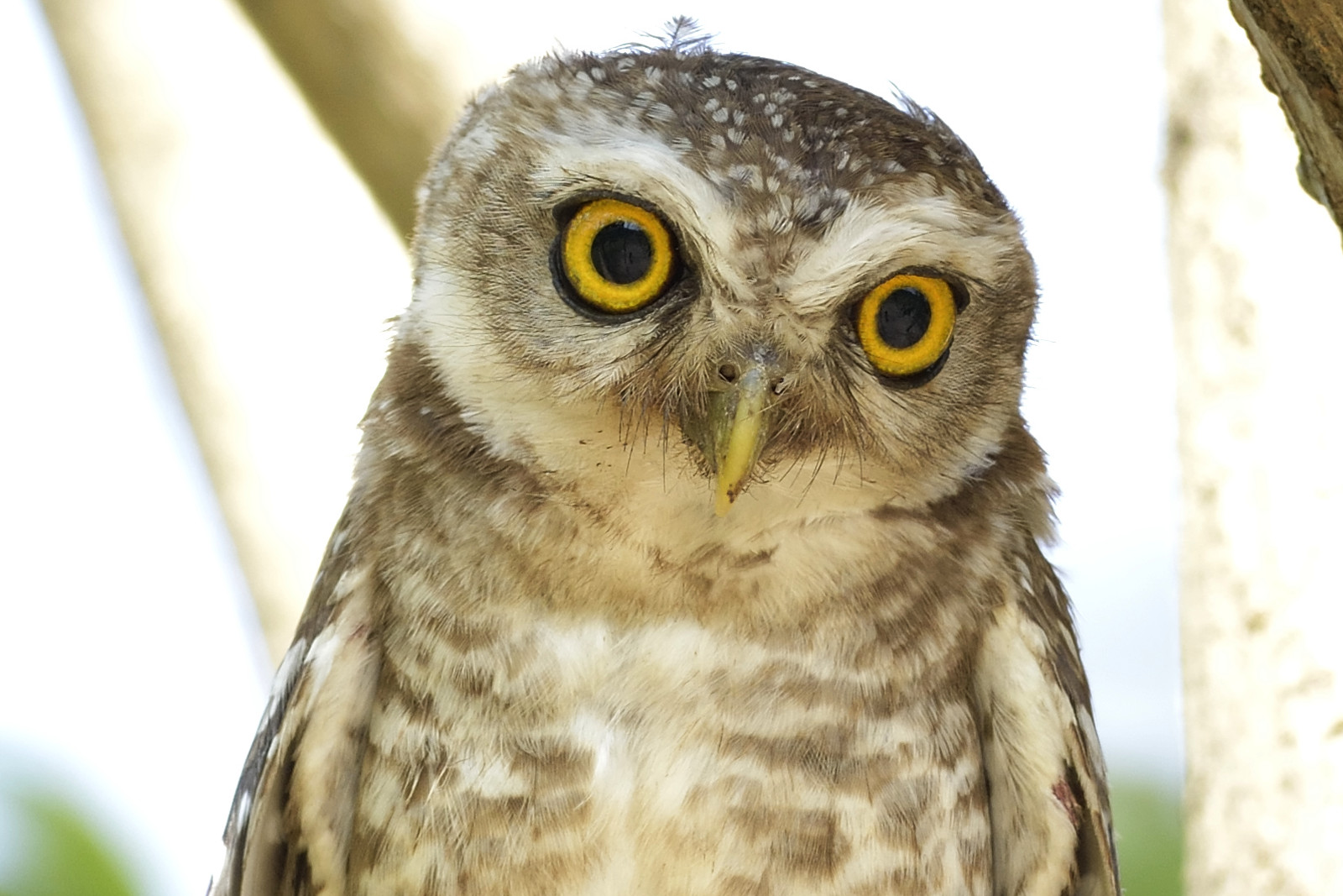 Spotted_Owlet_7033_O