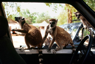 Ringtail Lemurs | by cowyeow