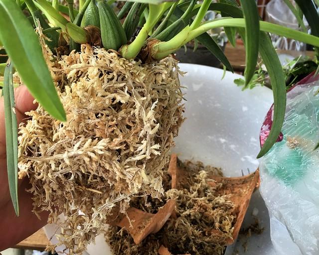2016/05/29 transplant Maxillaria schunkeana 新しい水苔を巻きつける