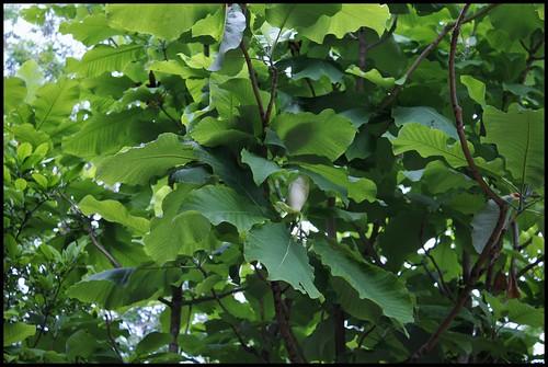 Magnolia macrophylla (8)