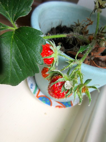 We Grew Strawberries