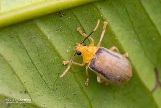 Leaf beetle (Galerosastra sumatrana) - DSC_8537