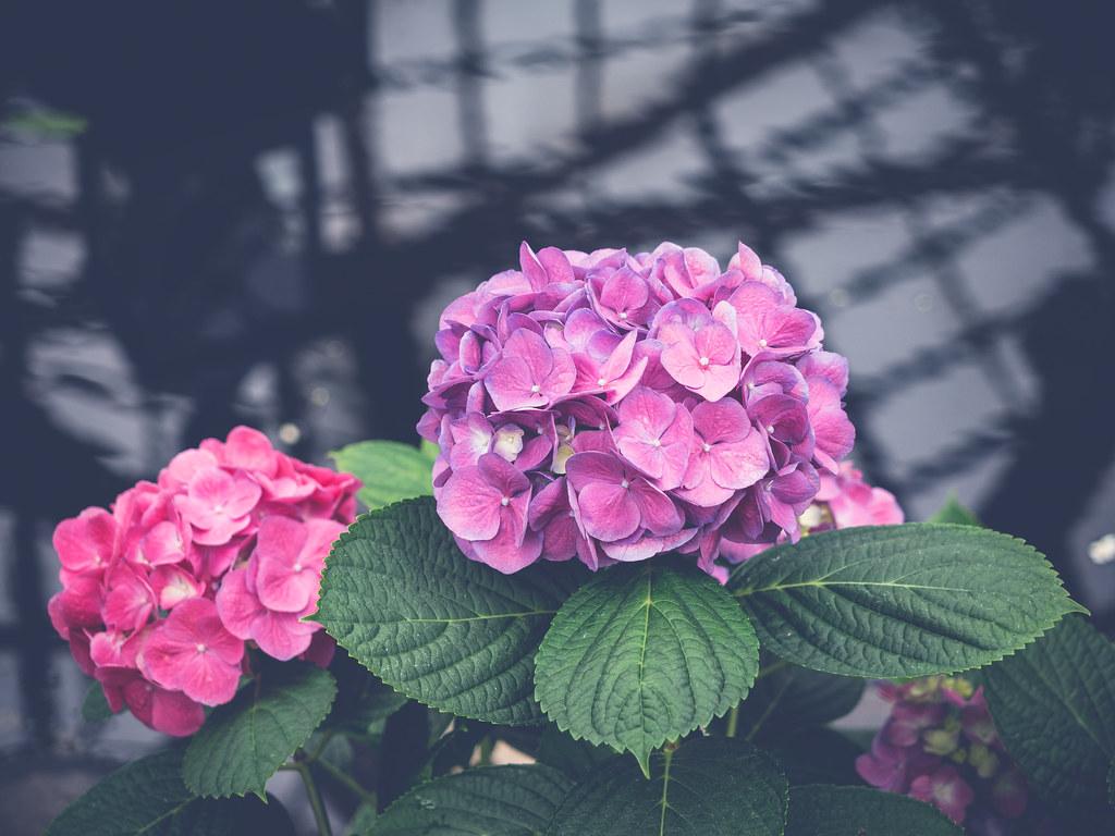 { Garden Hydrangea | Hydrangea macrophylla | 'Big Head Pink' }