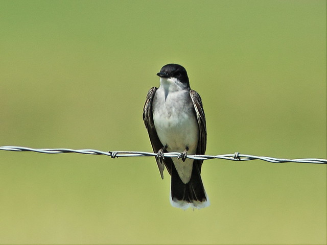 Eastern Kingbird 2-20160618