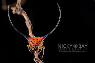 Spiny Back Orb Weaver (Macracantha arcuata) - DSC_3295