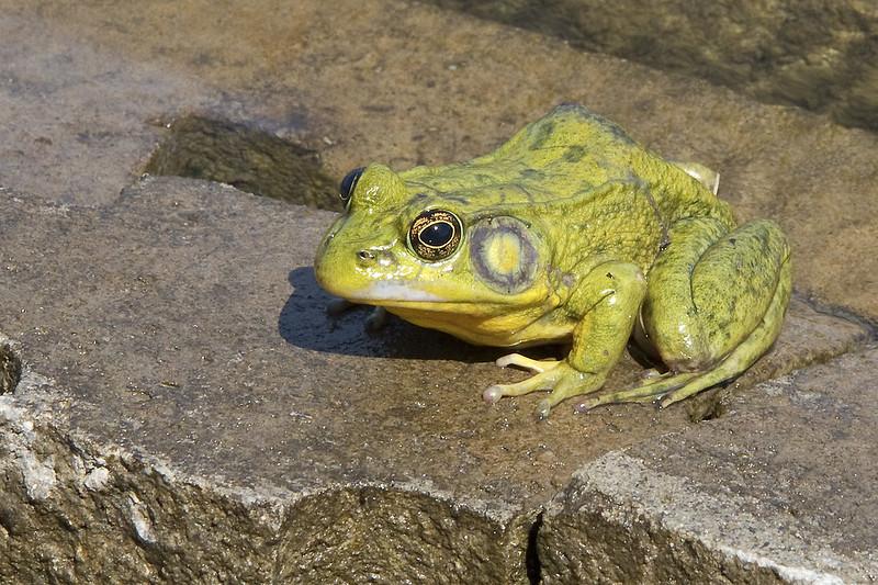 frog buddy3
