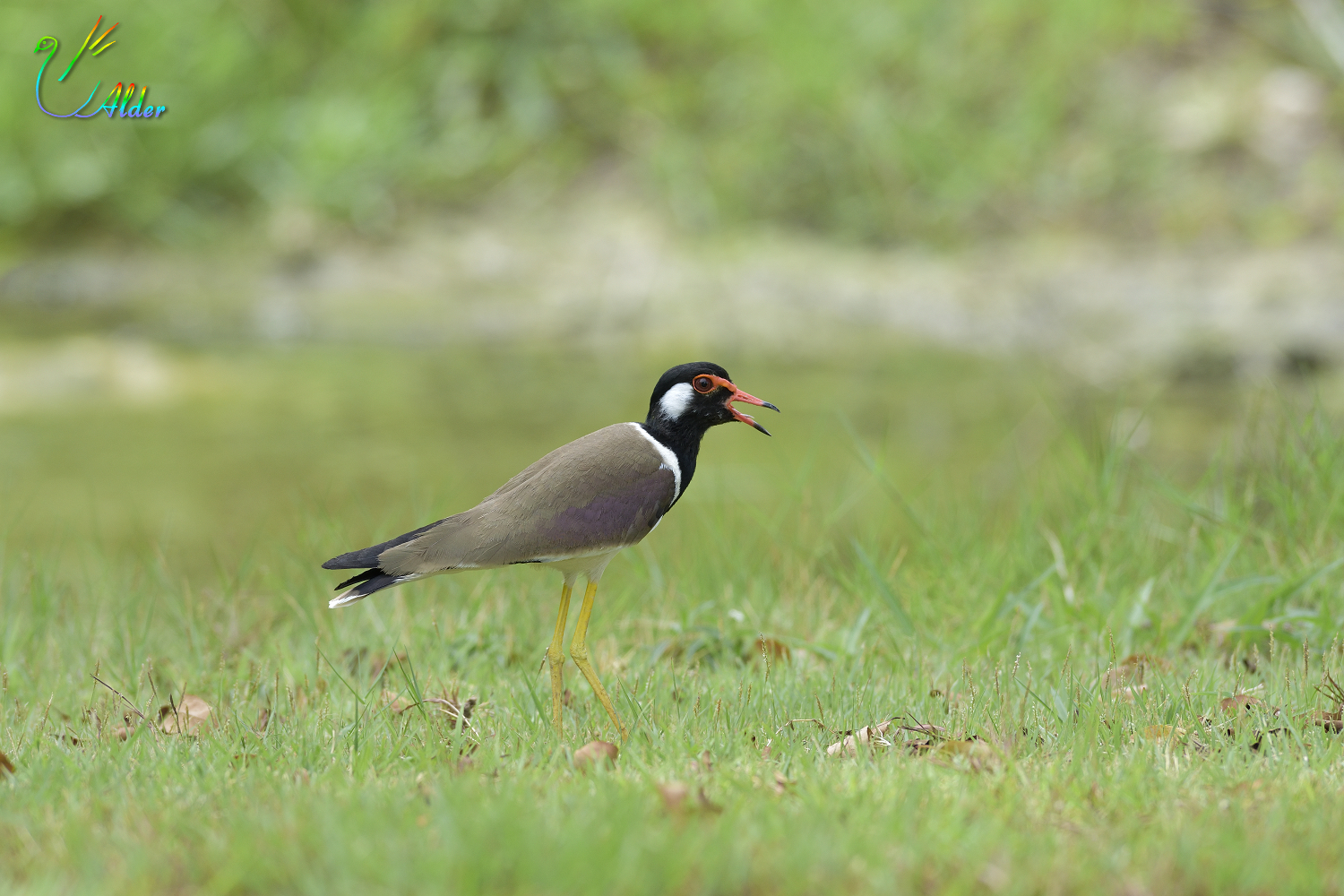 Red-wattled_Lapwing_6627