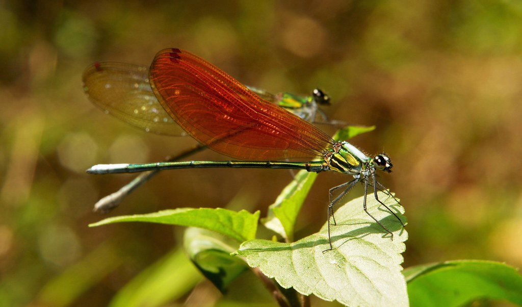 A male Anderson's Greenwing (Mnais andersoni, Calopterygidae)(foreground) woos a potential mate on a sun-drenched perch