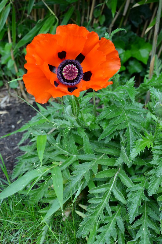 poppies from the garden