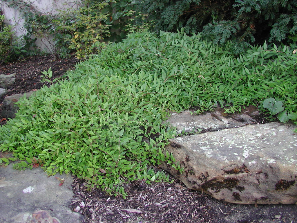 Deutzia gracilis 'Nikko' 9 12 5