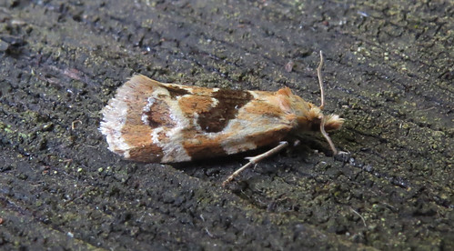 Aethes rubigana Tophill Low NR, East Yorkshire July 2016