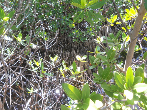 mangrove with pneumatophores
