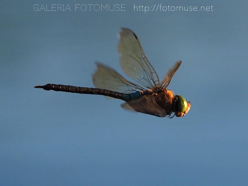 Dragonfly / Ważka / Libelle