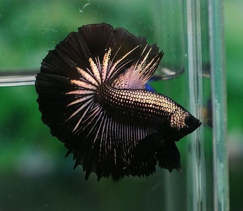 Dsc08816 flickr photo sharing for Show betta fish