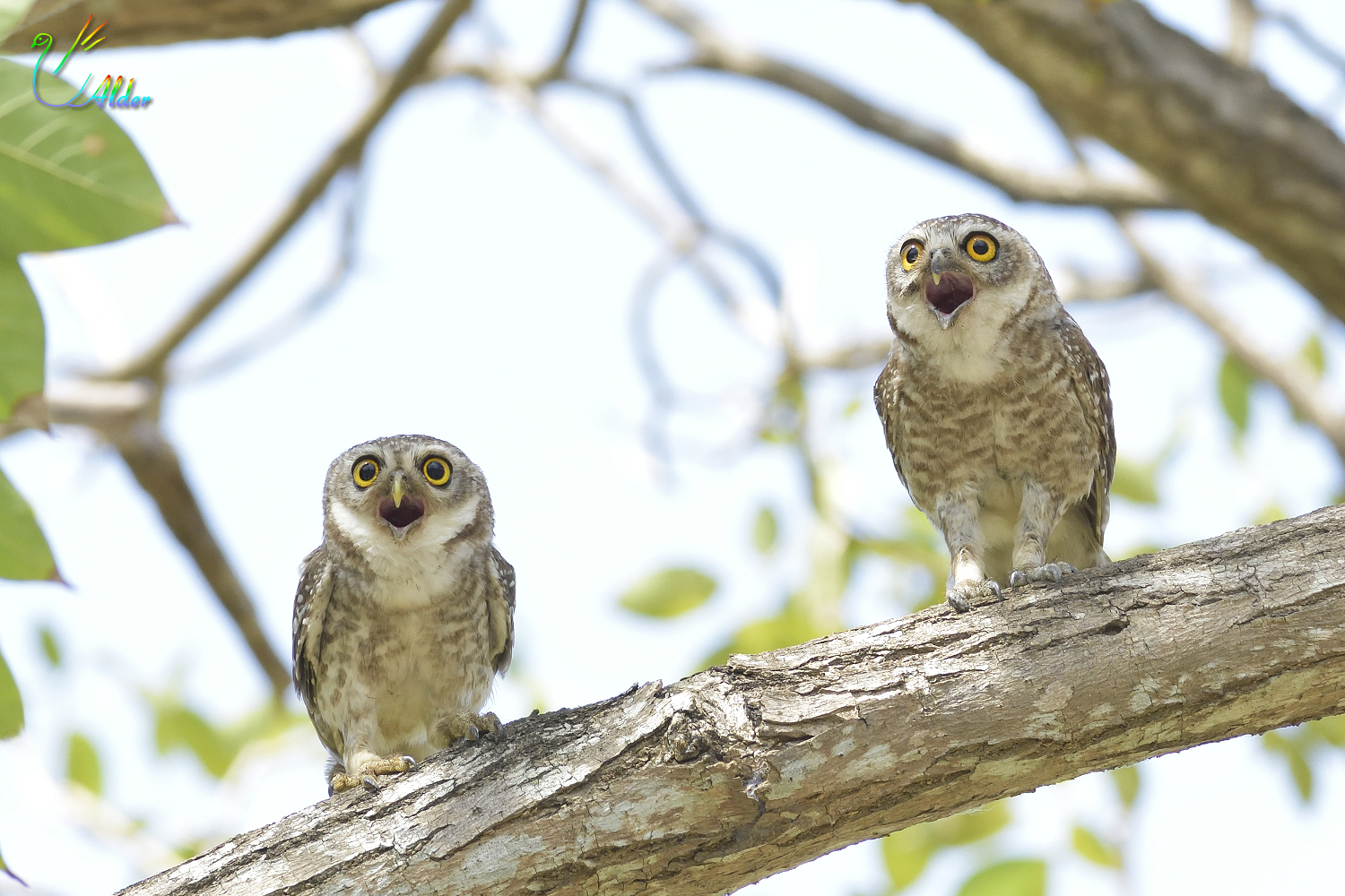 Spotted_Owlet_4290