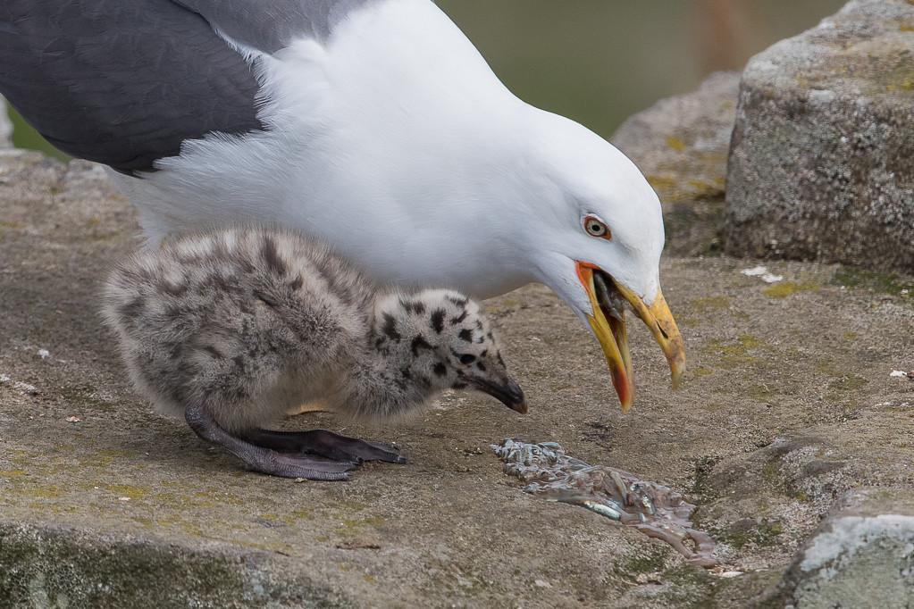 Lesser Black-backed Gull Isle of May,Scotland 2016