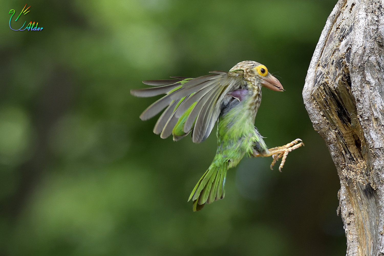 Lineated_Barbet_6500