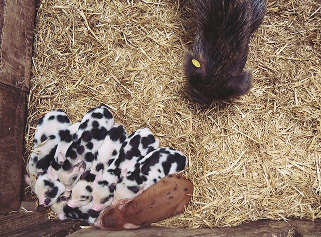Pennywell Farm piglets