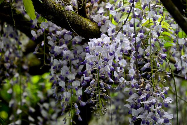 阿里山紫藤花