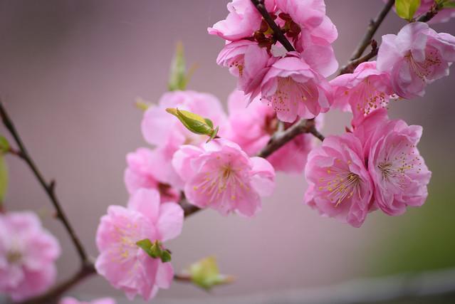 ume blossoms 4