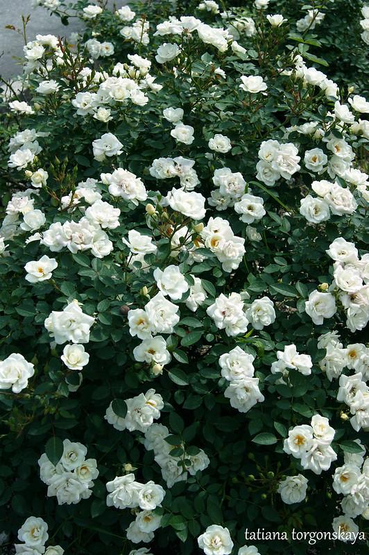 Куст белых роз